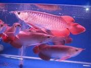 HIGH QUALITY SUPER RED AROWANA FISH OF ALL BREED AND SIZES FOR SALE.