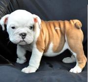 Adorable English Bulldog Puppies For Home Adoption