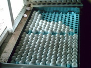 Fresh laid Parrot eggs for sale