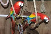 cut macaws available for sale